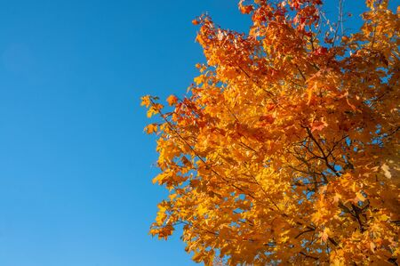 Yellow autumn colors of foliage. A branch with yellow leaves against a blue cloudless sky. Copy space. Background.
