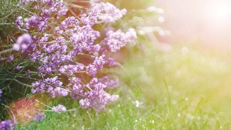 Out-of-focus blur summer blooming lavender background, toned, light and heart bokeh, pastel and soft card. Copy space. Archivio Fotografico - 129264316
