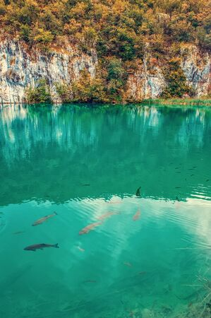 Large fish swim on one of the Plitvice lakes. Surprisingly clean and transparent lakes of Croatia. A truly pristine and wonderful piece of wildlife in the mountains. A famous landmark in Croatia. Фото со стока
