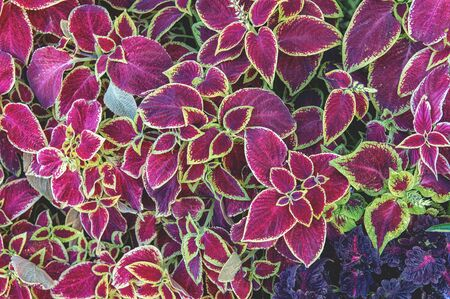 Plant background from the leaves of the Coleus plant. Autumn bright colors of the leaves of the flower.