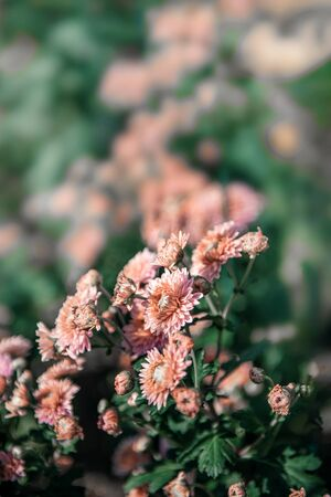 Pink small chrysanthemum grows on a Bush in the Park. Lovely small flowers for cutting and gift. Copy space