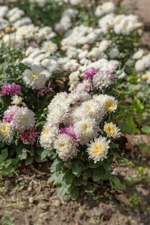 Pink small chrysanthemum grows on a Bush in the Park. Lovely small flowers for cutting and gift. Stok Fotoğraf