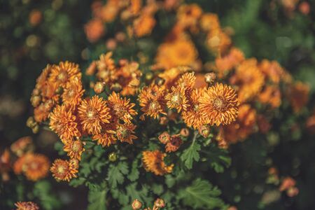 Orange small chrysanthemum grows on a Bush in the Park. Lovely little flowers for cutting and gift. Stok Fotoğraf
