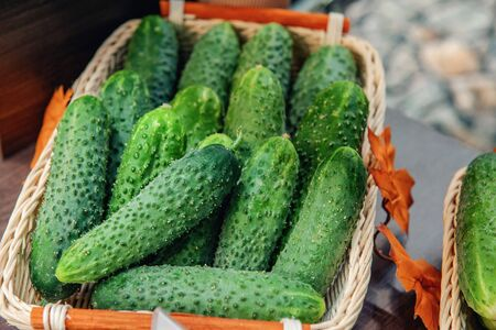 Fresh crispy spiked cucumbers lie in a basket in the window of the farmers market. Elite modern varieties and hybrids of vegetables.