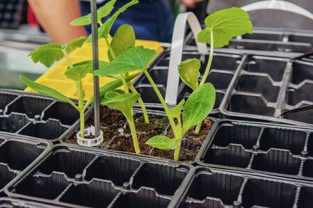 Growing cucumber seedlings in plastic containers with organic soil. Archivio Fotografico