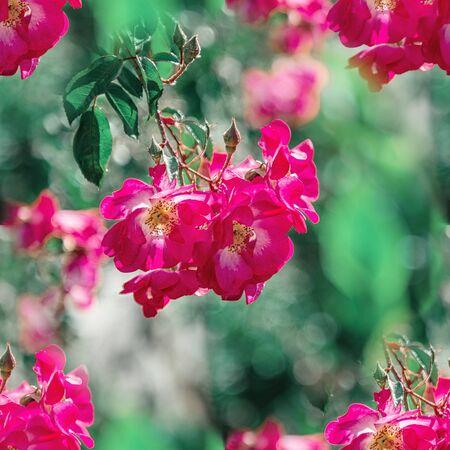 Purple roses in a garden landscape.