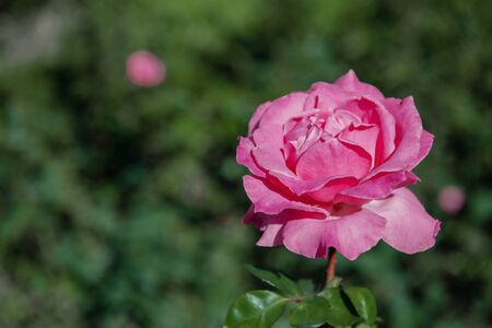 Roses in a garden landscape.