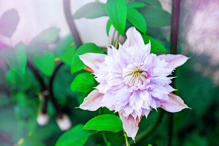 A lovely pink Terry flower adorns the garden. Clematis flower in the garden on a summer day.