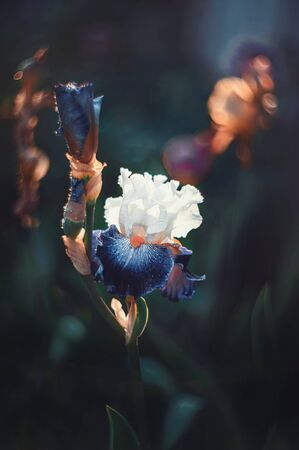 Beautiful blue iris flower in the garden at sunset. Close up. Copy of the space. Retro look. Art. Wallpaper. Reklamní fotografie