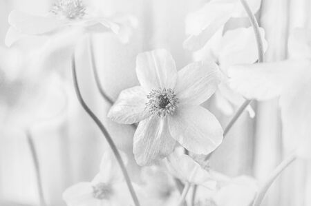 Beautiful white anemone flowers in a clearing on a Sunny spring day. Black and white photo. Close up..