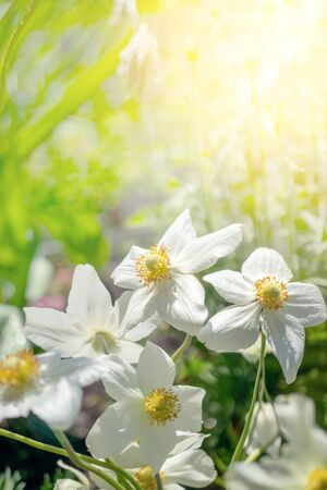 Beautiful white anemone flowers on a green glade on a Sunny day in spring. Close up. Copy space.