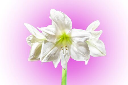 Large white graceful Amaryllis Hippeastrum blooming outdoors, isolated on a beautiful gradient pink background. Copy of the space.
