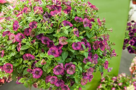 A bouquet of multi-colored petunias. Maroon petunias with a mottled middle, background. Landscaping of the premises.