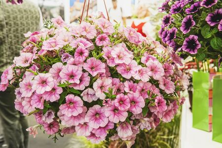 A bouquet of multi-colored petunias. Maroon petunias with a mottled middle, background. Landscaping of the premises. 免版税图像 - 139601993