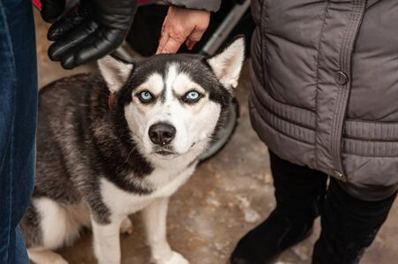A sullen husky with blue eyes is stroked by the owner.