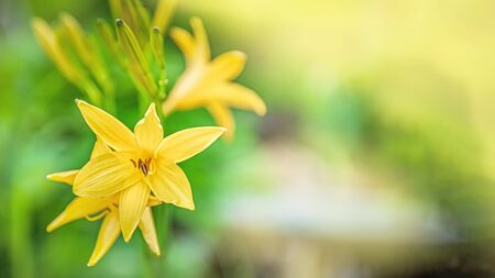 Beautiful yellow delicate lilies on a flower bed in the garden. Beautiful floral background for the designer. Copy space.