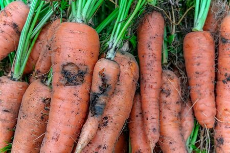 Damage to carrots caused by the larva of the carrot fly. Protect the pests of the garden.