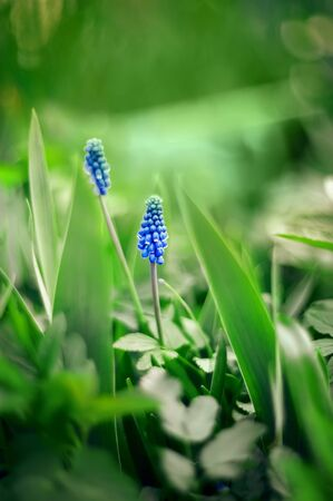 Blue Scilla Siberian. Early flowering pleases the human eye. Blue snowdrops in the spring forest. The first spring flowers.