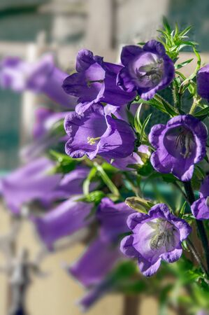 This vertical image is light purple Canterbury Bell flowers Campanula Medium growing in a summer garden. Beautiful bell shaped tall cup-shaped petals. Stock Photo