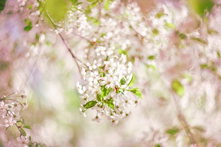 A beautiful spring cherry tree in the garden blooms on a blurry peaceful blue