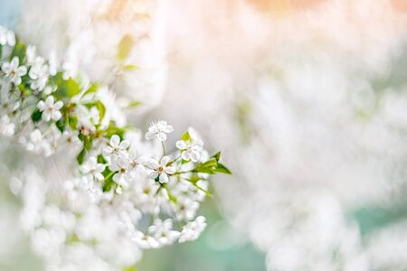 A delicate spring cherry tree in the garden blooms on a blurred Archivio Fotografico