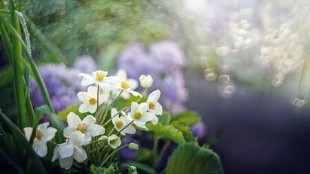 The single Japanese anemone or anemone hupehensis or thimble Chinese anemone is a hybrid flowering plant