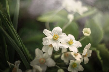 A white anemone Bush with yellow tender stamens grows in the garden in spring.