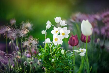 The anemone Bush or anemone hupehensis grows in a flower bed with tulips and other flowers. Archivio Fotografico