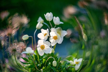 White anemone or anemone hupehensis grows in a flower bed with tulips and other flowers.