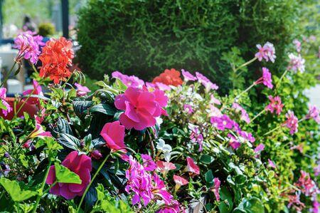 Vertical gardening of the city using Petunia and geranium plants. Archivio Fotografico