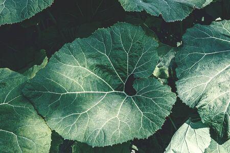Leaves of the plant Butterbur Petasites japonicus.