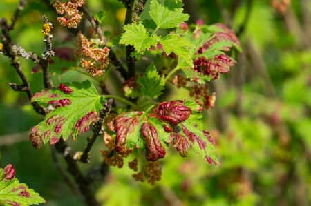 Gallic aphids on the leaves of currant. Control of garden and vegetable garden pests. Currant leaves affected by the pest. Foto de archivo