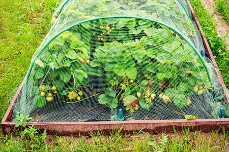 rural garden in the summer with raised vegetable beds and black currant under protection net against birds. Archivio Fotografico