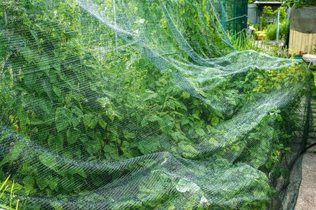 raspberry bed is covered with a protective net from birds. protection of berry crops in the garden.
