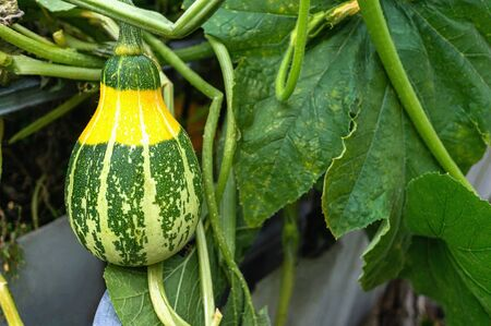 green variegated pumpkin grows in the garden on the bed. Pumpkin plant with fruit in a vegetable garden.