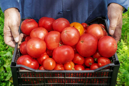Hands of an old gardener with a basket of collected vegetables in the garden. senior farmer prepared a crop of ripe tomatoes in a box for sale