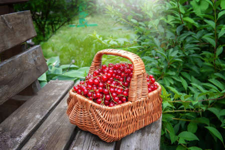 basket of ripe juicy red currants on the background of green leaves of the garden. The red currant berries were collected in a basket and left on the bench.