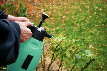 Treatment of affected rose plants with fungicides from a spray gun. Care of garden plants.
