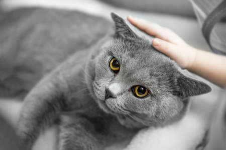 gray British shorthair cat lay in the owner's arms. Hands are stroking a gray, lop-eared Briton. A purebred animal.