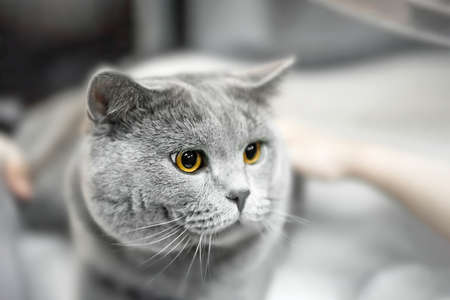 gray British shorthair cat lay in the owner's arms. Hands are stroking a gray, lop-eared Briton. A purebred animal. Copy space.