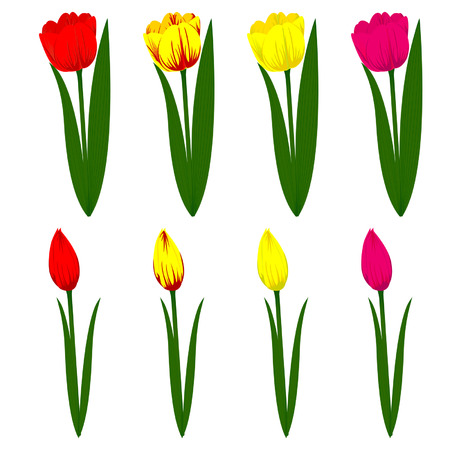 white tulip: Set of different colored tulips