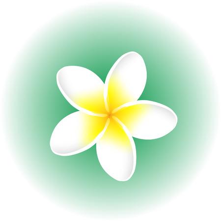plumeria frangipani white flower blossom isolated vector illustration 向量圖像