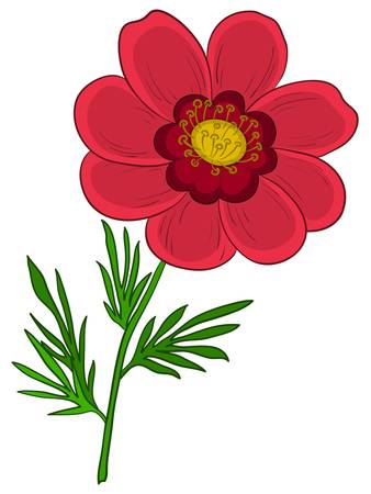 buttercup  decorative: red flower adonis with green leaves, isolated on a white