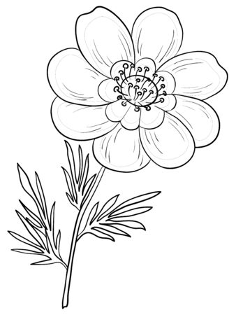 buttercup: flower adonis outline, black contours on a white