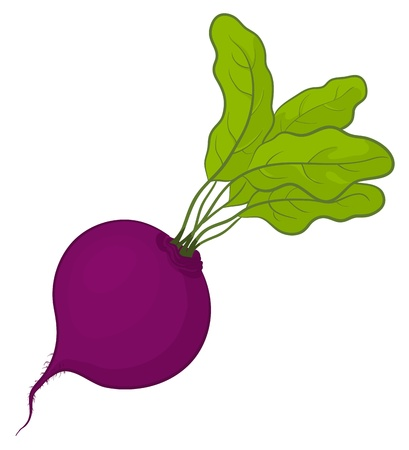 Vegetable, fresh beet with green leaves, vector, isolated on white Vector