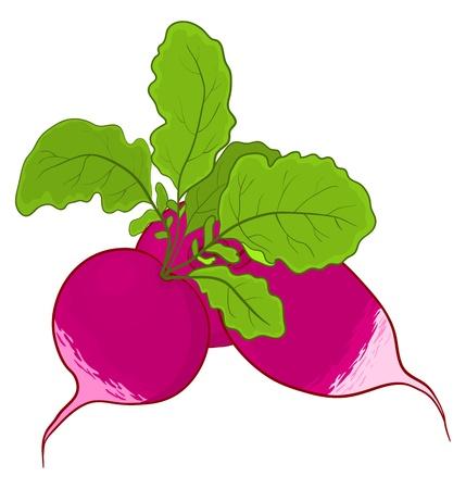 Légumes, frais radis avec des feuilles vertes, vecteur, isolé sur fond blanc