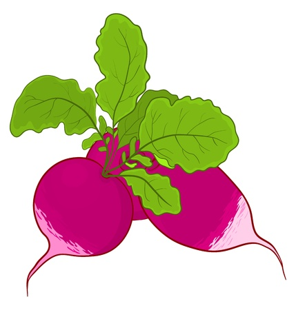 radish: Vegetable, fresh radish with green leaves, vector, isolated on white Illustration