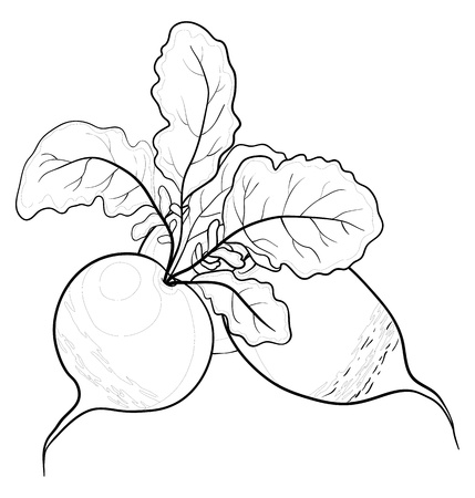 radish: Vegetable, radish with leaves, vector, monochrome contour on white