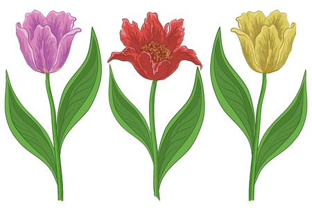 Vector, set various flowers tulips, isolated on a white Stock Vector - 10409613