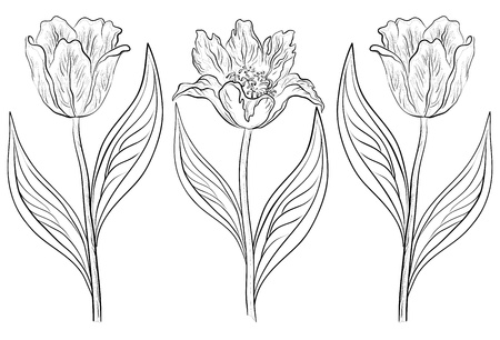 white tulip: Vector, set various flowers tulips, monochrome contours on a white